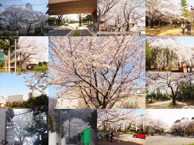 2014 年、近所の桜