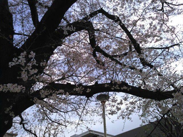 桜 2020-03-23 板橋区 石神井川沿い