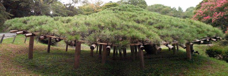 二本松城 霞ヶ城の傘マツ
