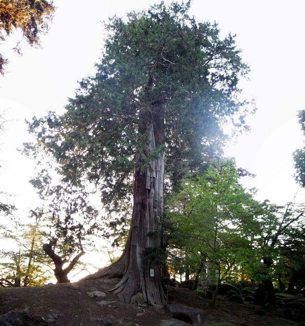 米沢城 境内の巨木