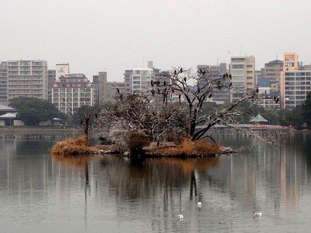 福岡城 大濠公園 トンビのコロニー