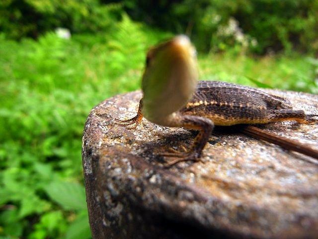水生植物園のカナヘビ