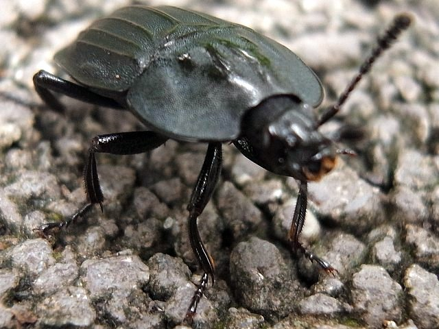 甲虫の一種