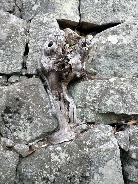 丸亀城 石垣と樹の根