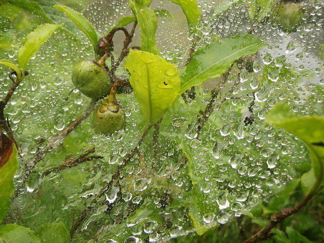 クモの巣に雨滴