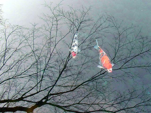 靖国神社(東京都千代田区) 鯉