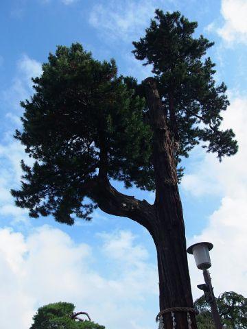 喜多院(埼玉県川越市) 御神木の槇
