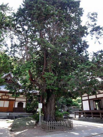 長徳寺のヒノキ