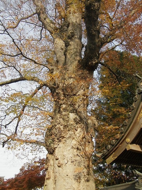 梅岩寺の大ケヤキ