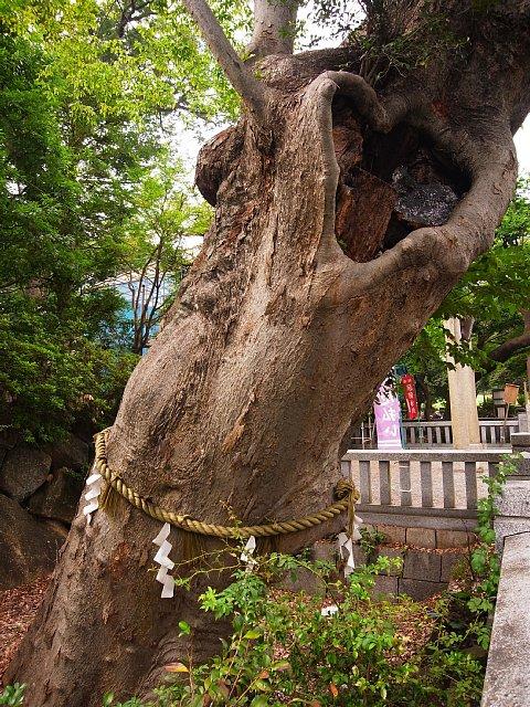 青渭神社のケヤキ(東京都調布市)