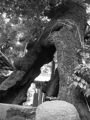 金王八幡宮の椎(東京都渋谷区)