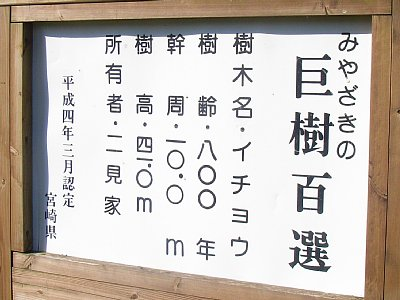 去川の大イチョウ(宮崎県宮崎市)