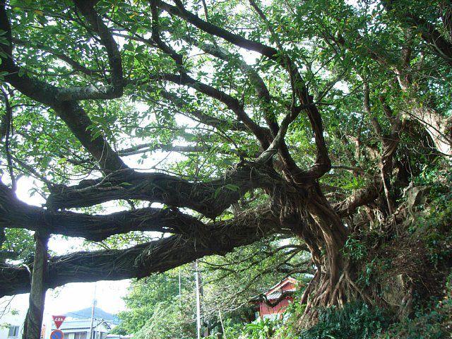 内海のアコウ (宮崎県宮崎市/野島神社)
