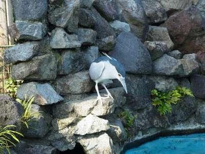 ペンギンの餌を狙う野生のゴイサギ フェニックス動物園にて