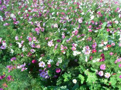 咲き乱れるコスモス
