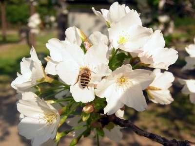浜離宮 桜とハチ