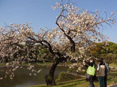 浜離宮 桜