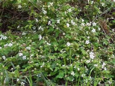 浜離宮 クサイチゴの花