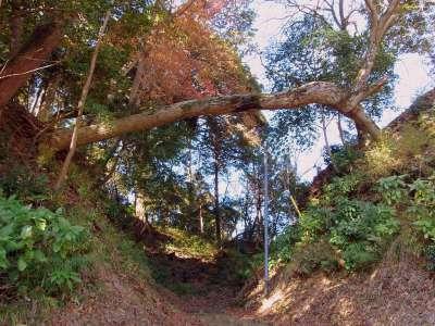 韮山城の堀切をまたいで根付いてる樹