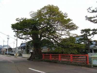 国神神社 霞のタブの木