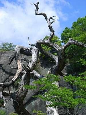 岩殿山城 稚児落とし 枯木