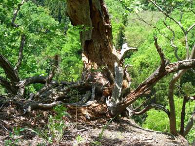 岩殿山城 稚児落とし方面 登山道 樹木