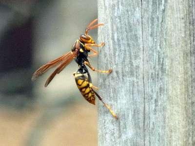 川越城 本丸御殿の塀で見たアシナガバチ