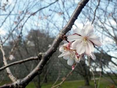 丸亀城 早咲きの桜