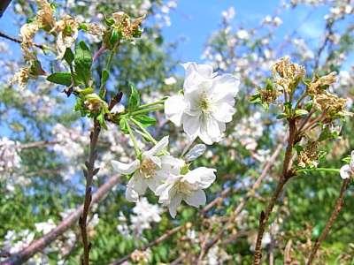大阪城 狂い咲きの桜