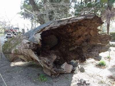 平成19年の台風で折れた『高鍋の大クス』の一部