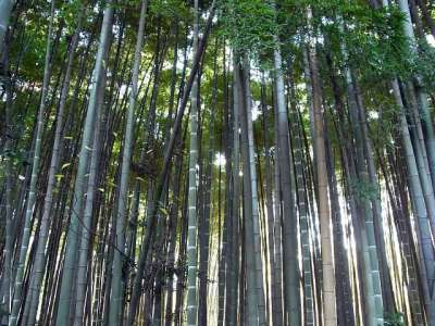 平林寺 睡足軒の森の隣りの竹林