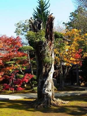 平林寺 神木?