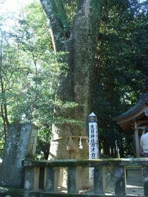 生目神社(宮崎県宮崎市) オガタマノキ(ご神木)