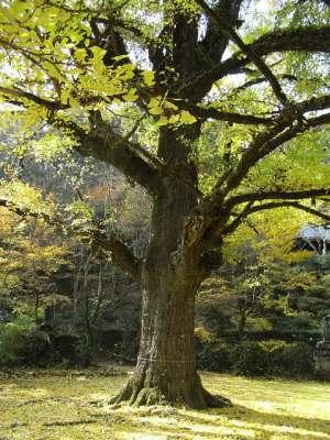 新宮寺(熊本県人吉市) 銀杏