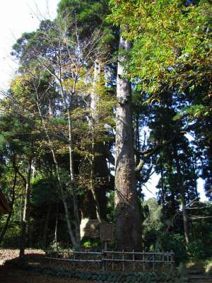 白鳥神社(宮崎県えびの市) 白鳥夫婦杉(御神木)