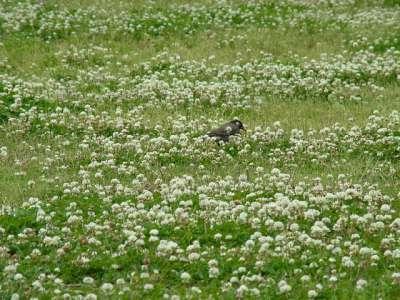 白爪草とムクドリ