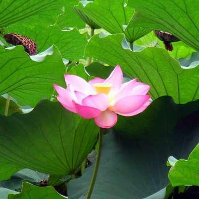 川崎市 等々力緑地 蓮の花