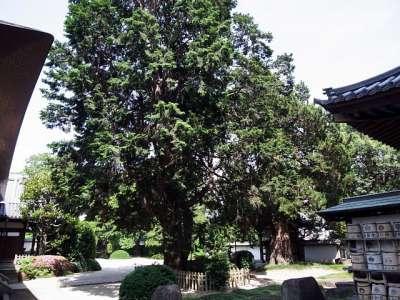 長徳寺のヒノキ(左手前)とビャクシン(右奥)