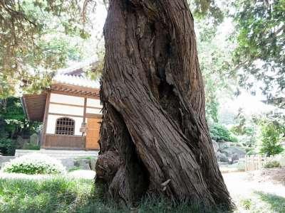 長徳寺のビャクシン