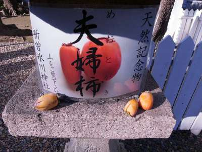 新曽氷川神社の夫婦柿(埼玉県戸田市)