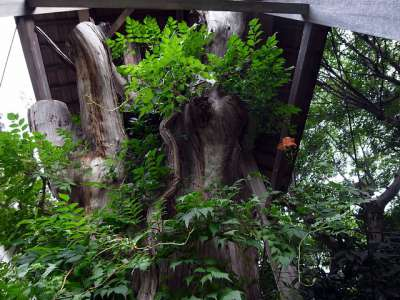 犬山城の大杉様