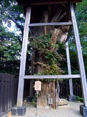 犬山城の大杉様(愛知県犬山市) 2009.10.16