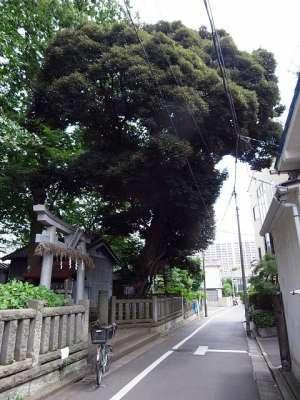 小豆沢神社のスダジイ(板橋区)