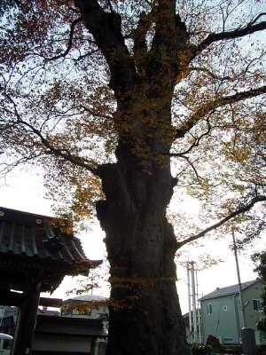 梅岩寺の大ケヤキ (東京都東村山市)