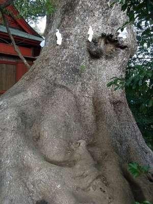 剣柄稲荷神社の大クス(宮崎県国富町)