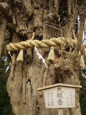 鶴岡八幡宮の大銀杏(鎌倉市・2003)