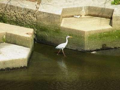 アオサギと護岸 目黒川船入場調節池
